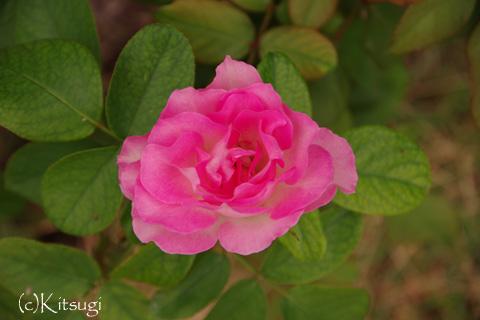 薔薇-みやび