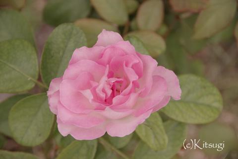 薔薇-ほのか