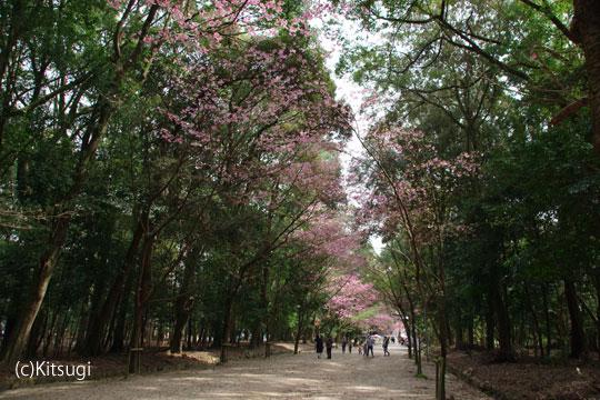 参道の桜2