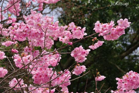 参道の桜3