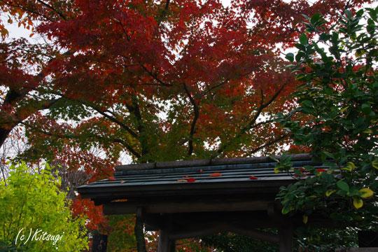 屋根とモミジ